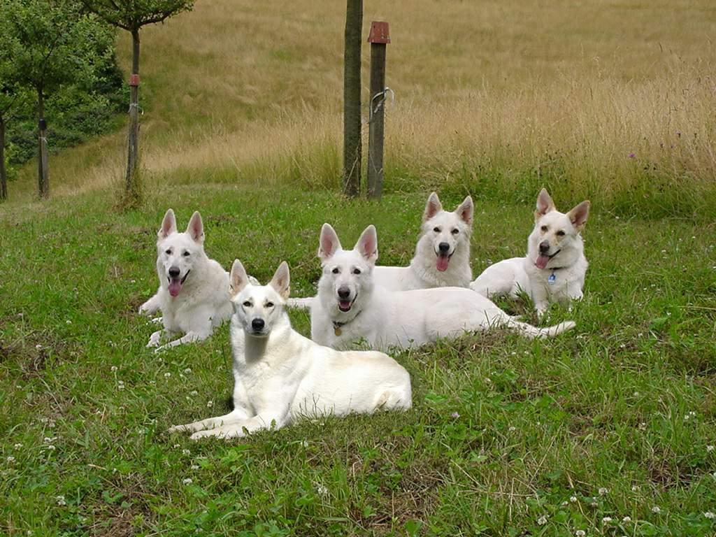 Juniors erste Ausstellung mit Weisser Schäferhund Hope
